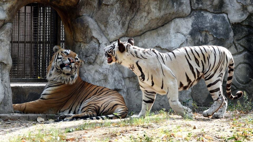 The white Bengal tiger and tigress were housed together in the same enclosure for breeding at the Delhi Zoo on May 08, 2018. (Arvind Yadav  /HT Photo)