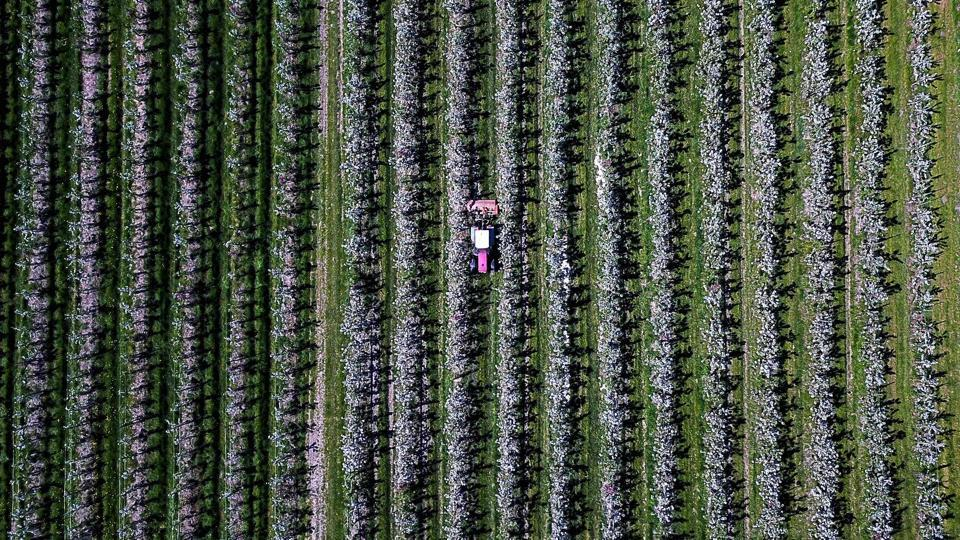 A tractor drives through an apple orchard in Haselau, northern Germany. (Axel Heimken / dpa / AFP)