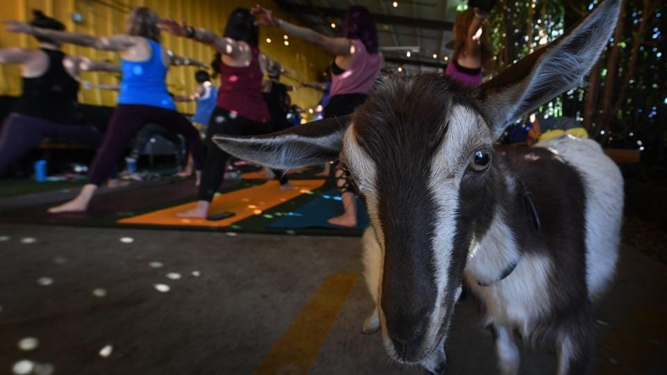 Yoga students take a class with Nigerian Dwarf goats held by the 'Hello Critter Goat Yoga' team at the Golden Road Pub in Los Angeles, California. (Mark Ralston / AFP)
