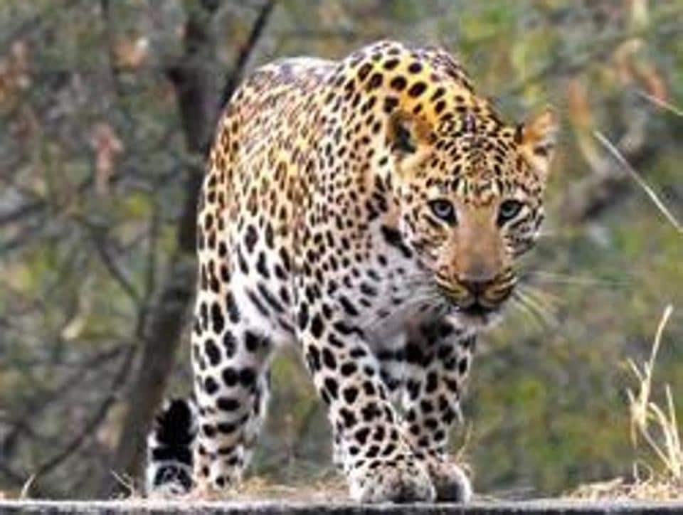 As per forest department regulations, compensation for injury in an animal attack is Rs 15,000, while if the person succumbs, then the family gets Rs 8 lakh. (HT representational photo)