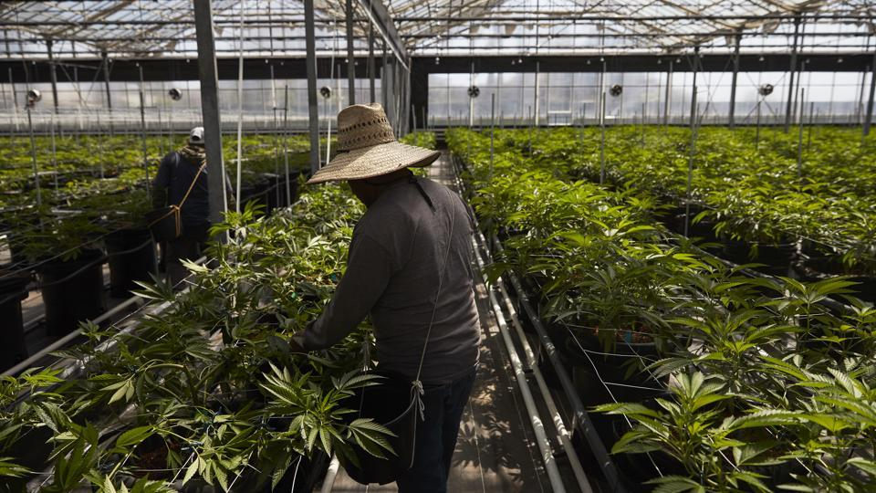 Workers in a greenhouse growing cannabis at Glass House Farms in Carpinteria, California. About 137 kilometers northwest of Los Angeles, Carpinteria is located on the bottom of Santa Barbara County, a tourist area famous for its beaches, wine and temperate climate. It's also gaining notoriety as a haven for cannabis growers.  (Jae C. Hong / AP)