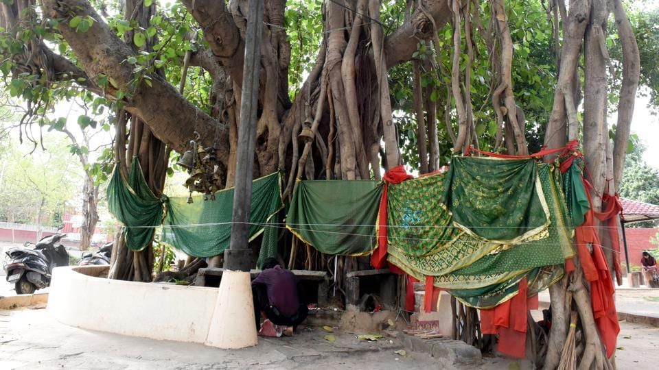 Banyan tree at PEC in Sector 12 is 350 years old.These trees are part of natural heritage of the city and serve as an important green landmark. This decision has been taken to protect such trees and enlighten residents about their relevance. (HT Photo)