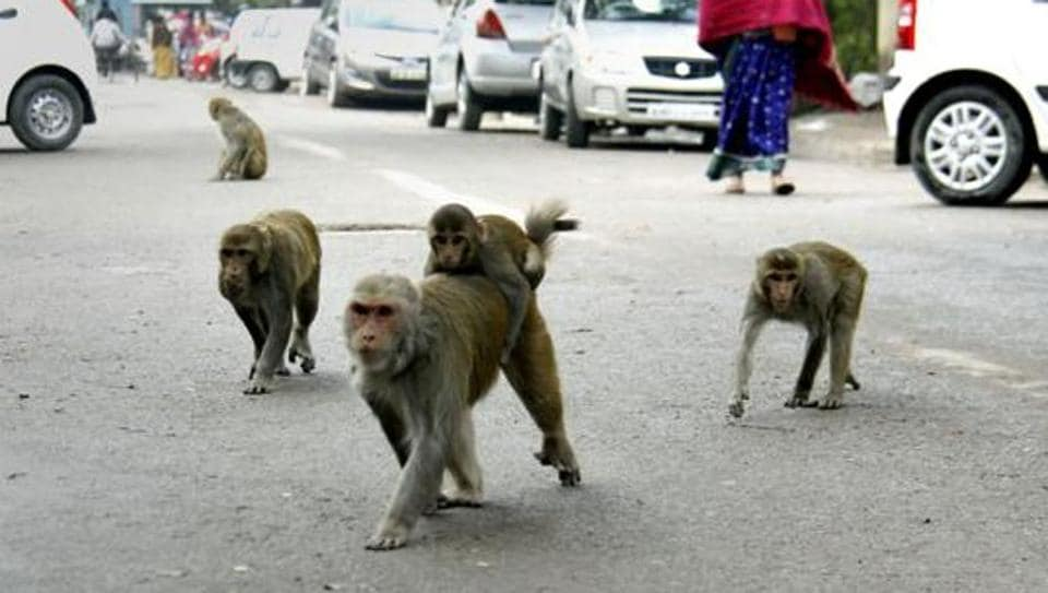 The monkeys reportedly scrambled down a ladder from the terrace while the office was being cleaned at the start of the day.