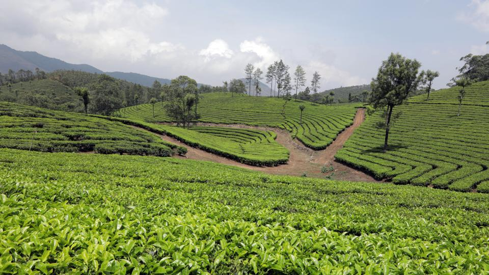 "A view from one of Munnar's famous a tea plantations. ""Its 12-year cycle is a wonder for the scientific community. These thorny shrubs play a major role in creating natural streams in shola forests. They are vital part of the Nilagiri biosphere,"" said Prof Jomy Augustine, a botanist. (Vivek Nair / HT Photo)"
