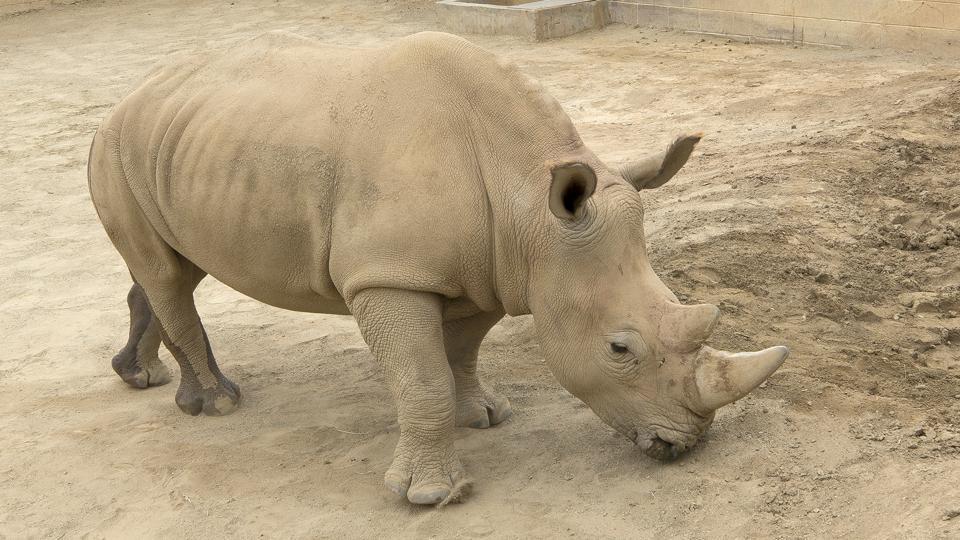 White rhino,Pregnant white rhino,Rhinoceros
