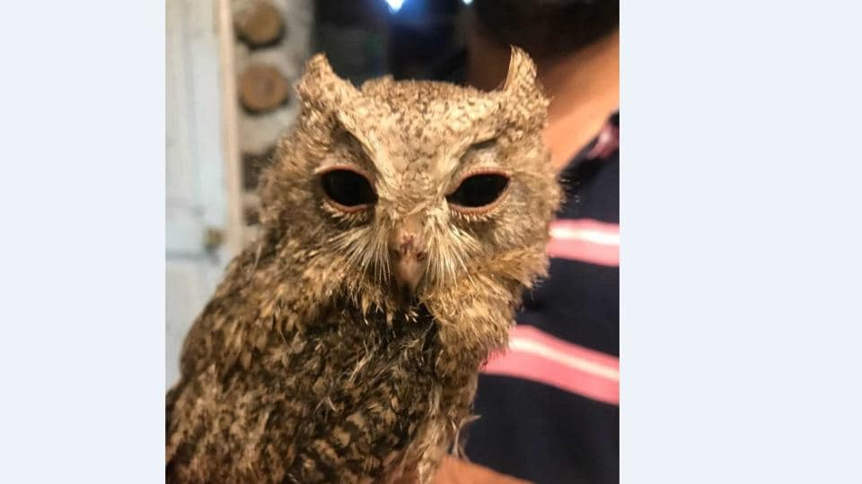 The rescued Indian Scops owl