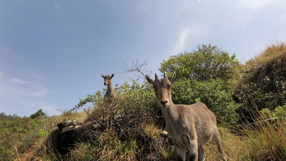Eravikulam, famous for the endangered Nilagiri Tahr, houses some of the ideal pockets for witnessing the phenomenon. Kurinji watchers say the shrub is usually 30-60 cms tall but in more favourable conditions it can grow up to 180-200 cms. The actual flower itself lasts 15-20 days once it has blossomed. (Vivek Nair / HT Photo)