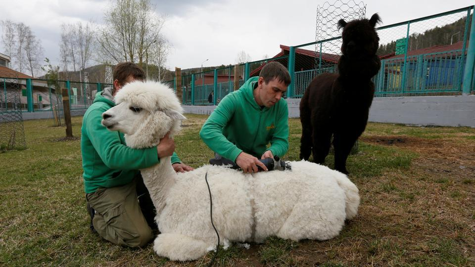 Employees shear a female alpaca Juliette for summer season, as a male alpaca Romeo stands nearby, inside an open-air enclosure at the Royev Ruchey zoo in the suburb of Krasnoyarsk, Russia. (Ilya Naymushin / REUTERS)