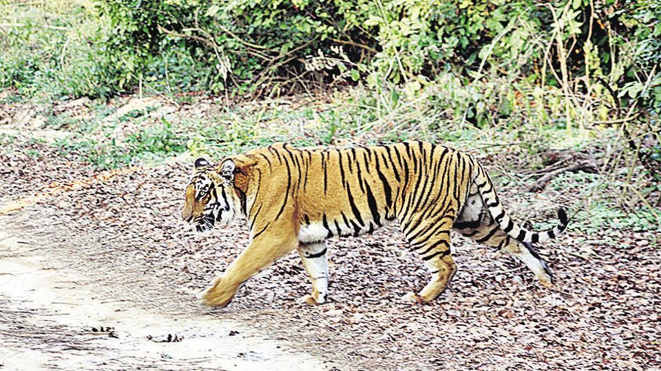 Madhya Pradesh,MP tiger attack,Tiger