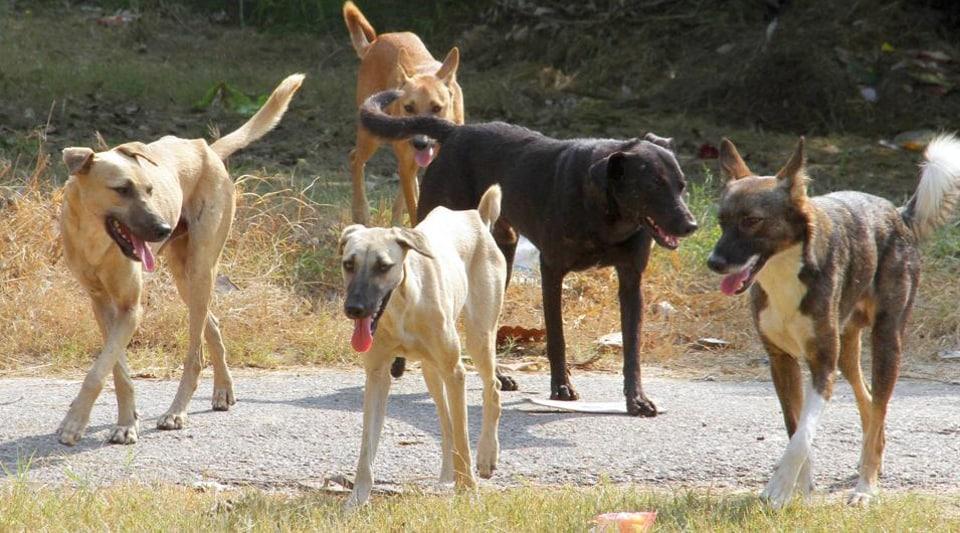 Stray dogs,Punjab,Nabha