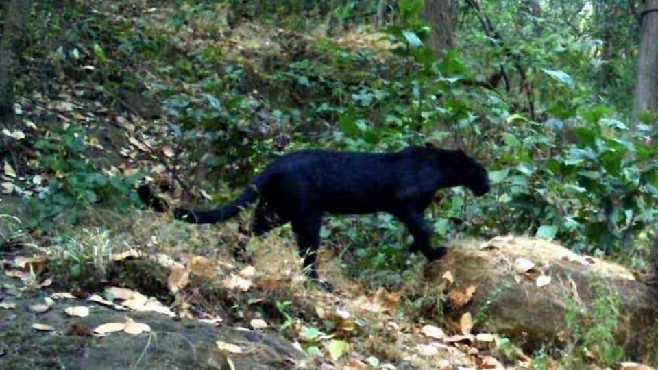 Black panther,Odisha forest,Garjanpahad reserve forest
