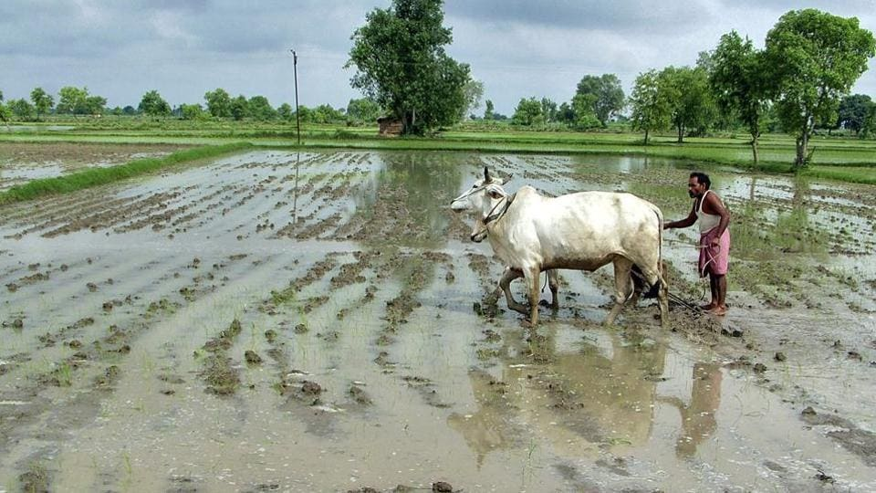 A farmer ploughs his rice field after heavy rainfall in Mathura.  Big farmers most always like to squeeze wage payments to agricultural workers as much as possible.