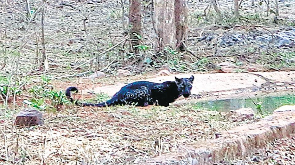 The forest department, however called the big cat a black leopard, around 4 to 5 years old, and confirmed that the sighting was so rare that this might be the only evidence of a black panther in Maharashtra
