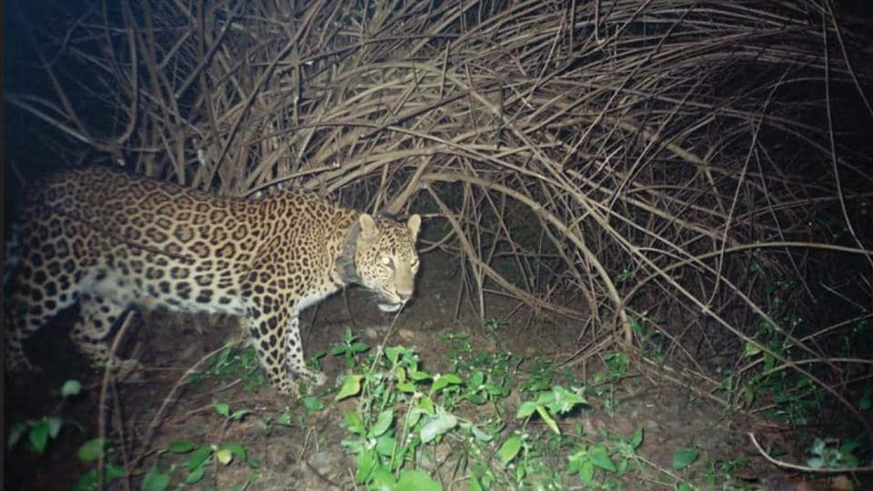 Since February this year, 27 leopards have been photographed in Sanjay Gandhi National Park.