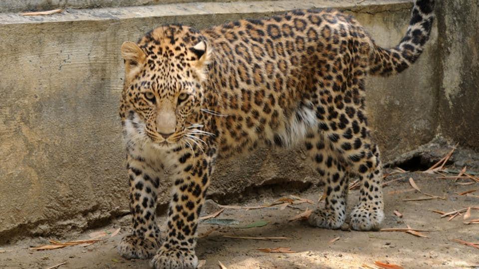 Leopard attack,Tamil Nadu,Valparai