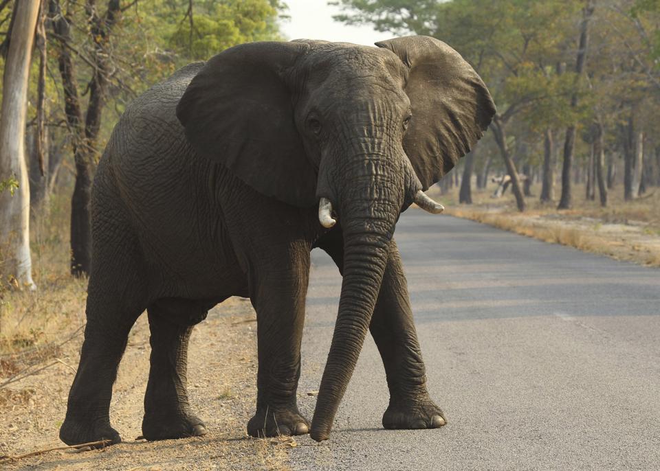 ivory,Guwahati,tusk