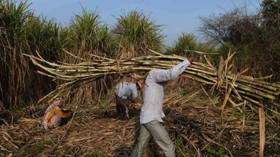 A farmer carries sugarcane to load on a tractor to sell it at a nearby sugar mill in Modinagar in Ghaziabad.