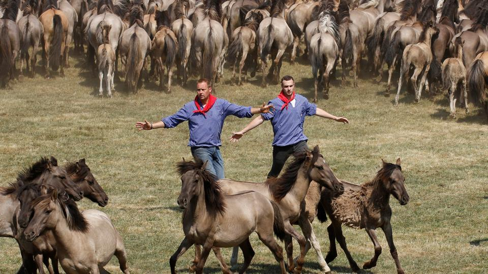 The aim is to preserve the herd for the future by keeping it to a sustainable size and warding off the danger of inbreeding and territorial fighting. Once they're rounded up, the young stallions are auctioned off. (Leon Kuegeler / REUTERS)