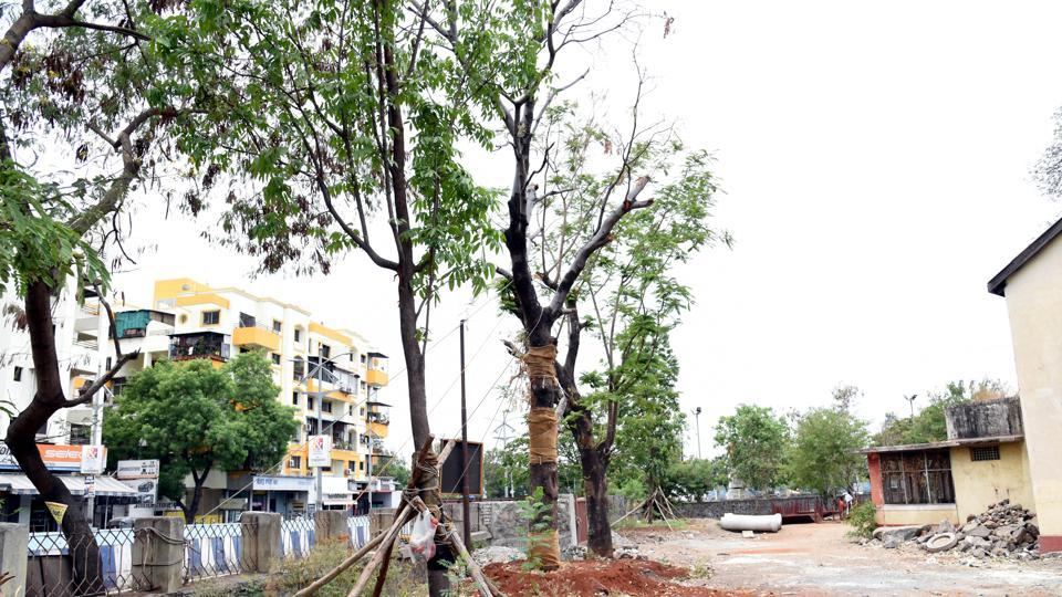 The transplanted trees at Vallabh nagar Metro Sahyog Kendra, Pimpri, will soon not need any external support.