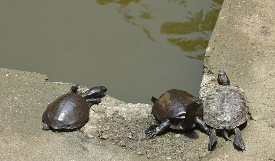 Since 40 of them were released into the pond a decade ago, they have grown, multiplied and the numbers are 65.
