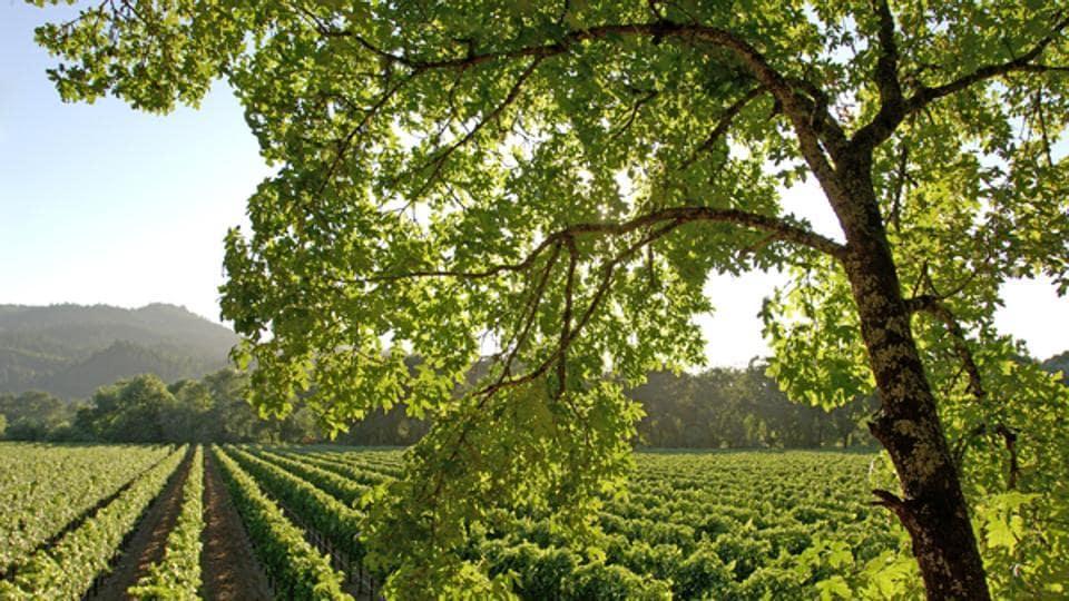 Vineyards near Napa, Napa Valley, California, United States of America