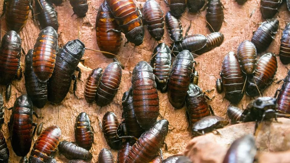 China,Cockroaches,Waste management