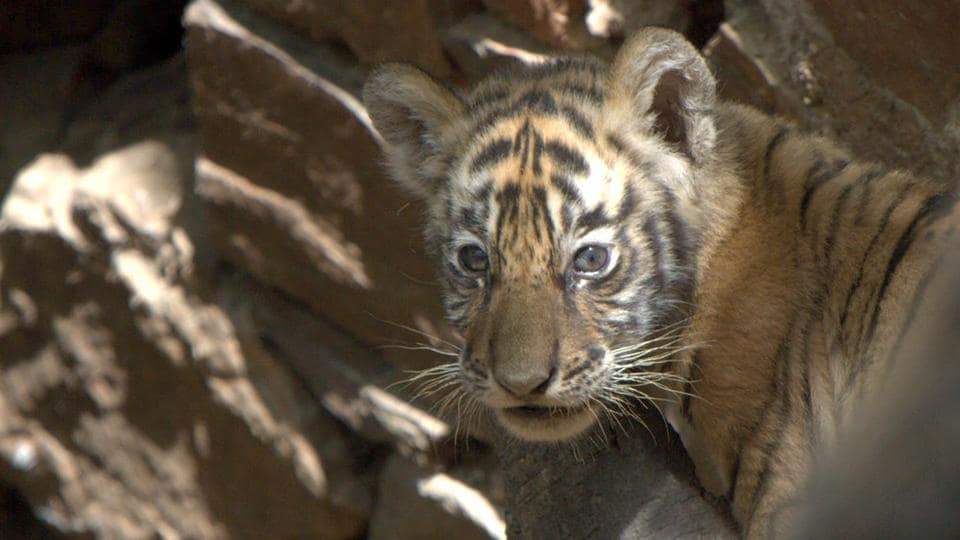 A tiger cub in Ranthambore.