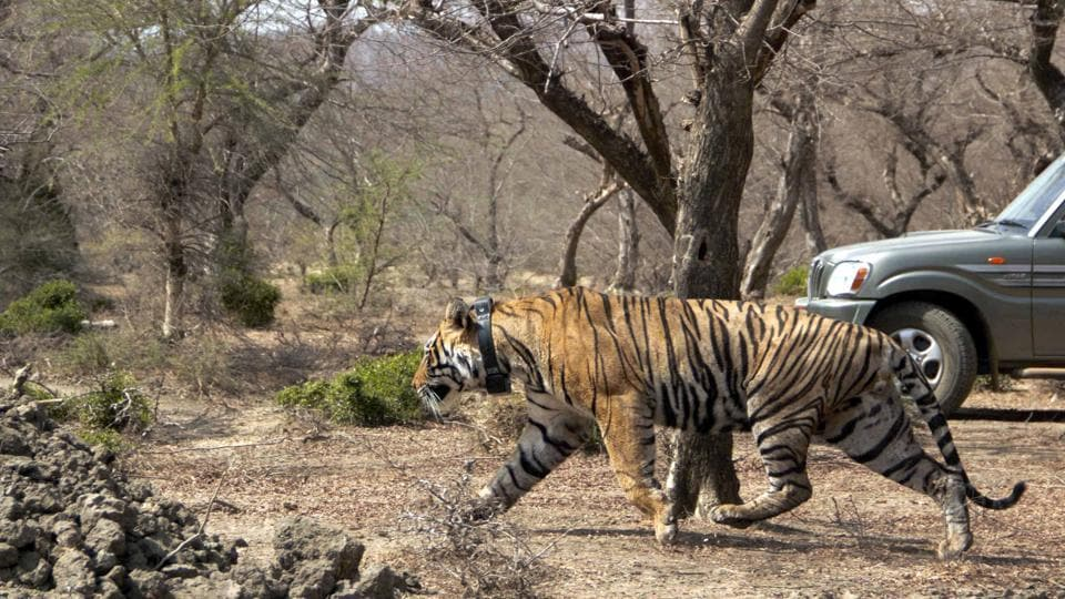 Tiger (MT-1) after being shifted to Mukundra Hills Tiger reserve in Kota.
