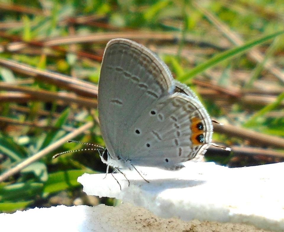 Uttarakhand,Himalayan butterflies,51 species
