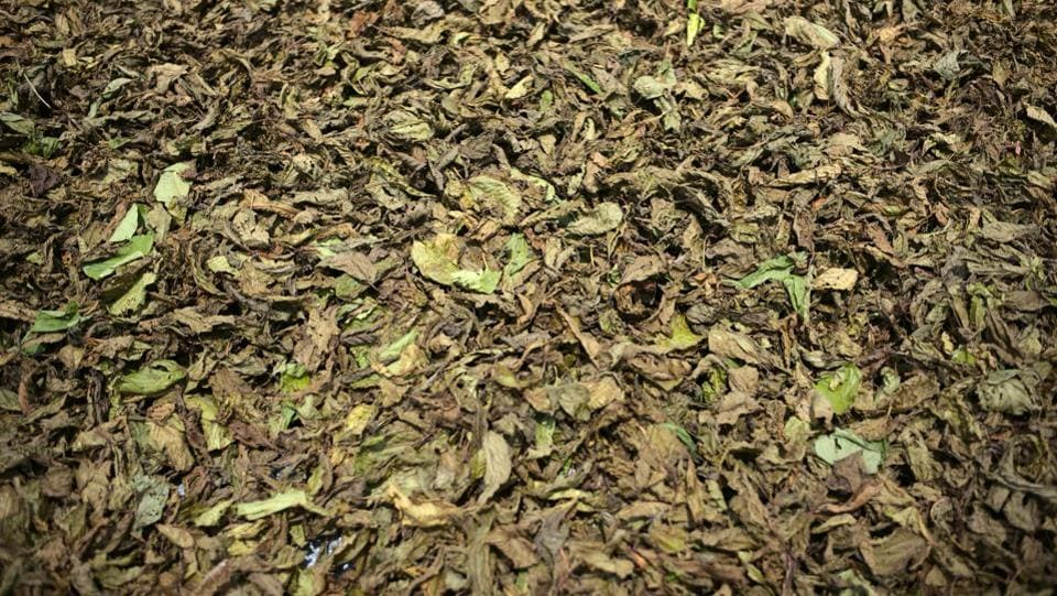 Kratom leaves left to dry out in the sun. Most of the product consumed in the US comes from Indonesia, where the government bans local consumption but allows exports. The US Food and Drug Administration has warned about the harmful effects of kratom products and associated them with 44 deaths in the state. (Dimas Ardian / Bloomberg)