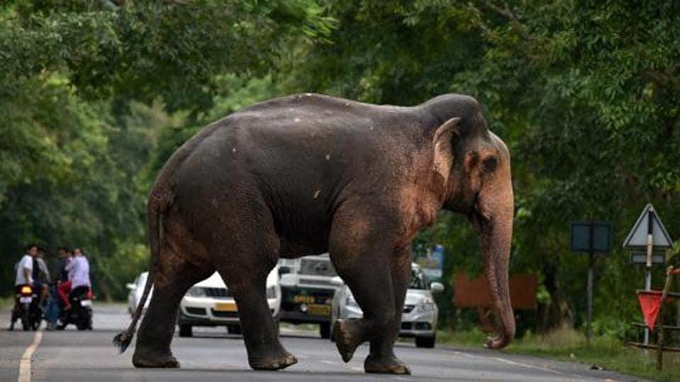 Elephant killing,Assam,Wild Elephant