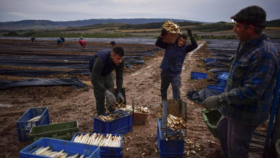 Caparroso is in Navarra, a northern Spanish region with cold nights in winter and spring that are said to produce the top-quality asparagus. (Alvaro Barrientos / AP)