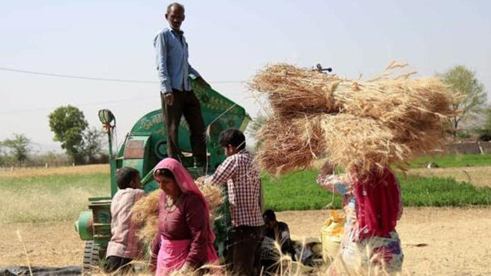 Farmers thresh harvested wheat crop on the outskirts of Ajmer in Rajasthan .