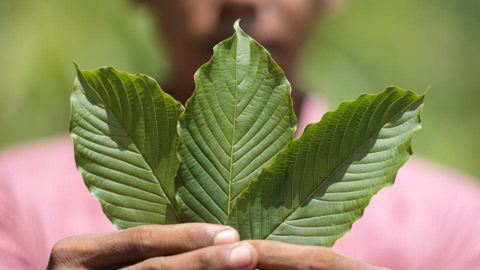 Deep in the jungles of Indonesian Borneo is the remote region of Kapuas Hulu, a 12-hour drive along narrow, twisting roads from the nearest city. Until recently, most villagers here eked out a living at nearby rubber plantations or gold mines. Now, thanks to the opioid epidemic in the US, the demand for coffee-like evergreen plant kratom has turned Kapuas Hulu into a boom town. (Dimas Ardian / Bloomberg)