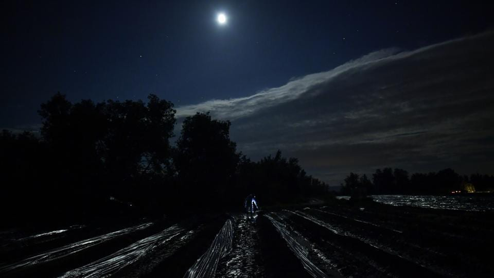 A seasonal worker using a lantern, collects asparagus from a field in Caparroso, Spain. The delicate process is performed during the night to shield the vegetables from direct sunlight, which could turn the tip of the shoots from white to a purple-like color and dry their much-appreciated moisture. (Alvaro Barrientos / AP)