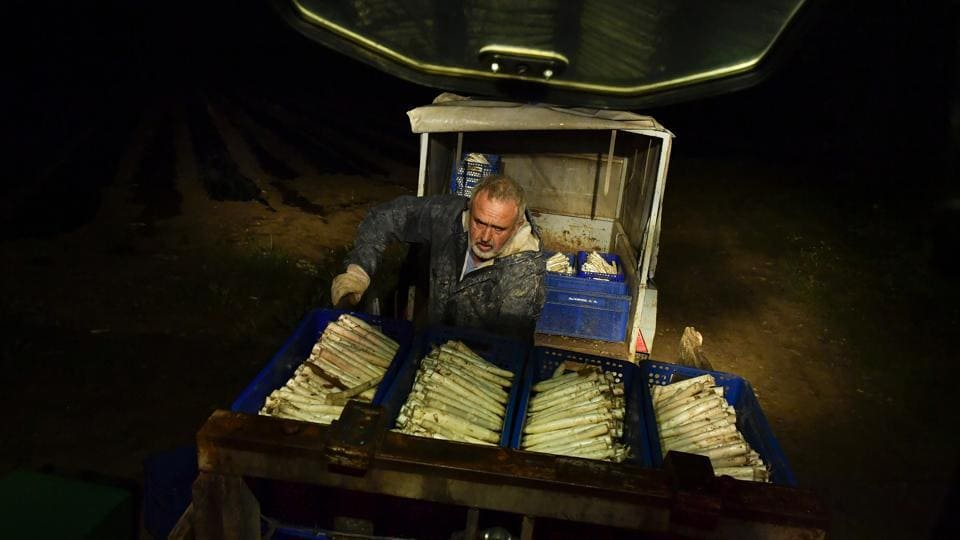 Pedro Pascual, 53, arranges white asparagus after collecting them from a field. Locally, a Navarrese farmer can hope to fetch around 2.90 euros for each kilogram of asparagus in Uterga, a town along the Way of St. James, an ancient pilgrimage route. (Alvaro Barrientos / AP)