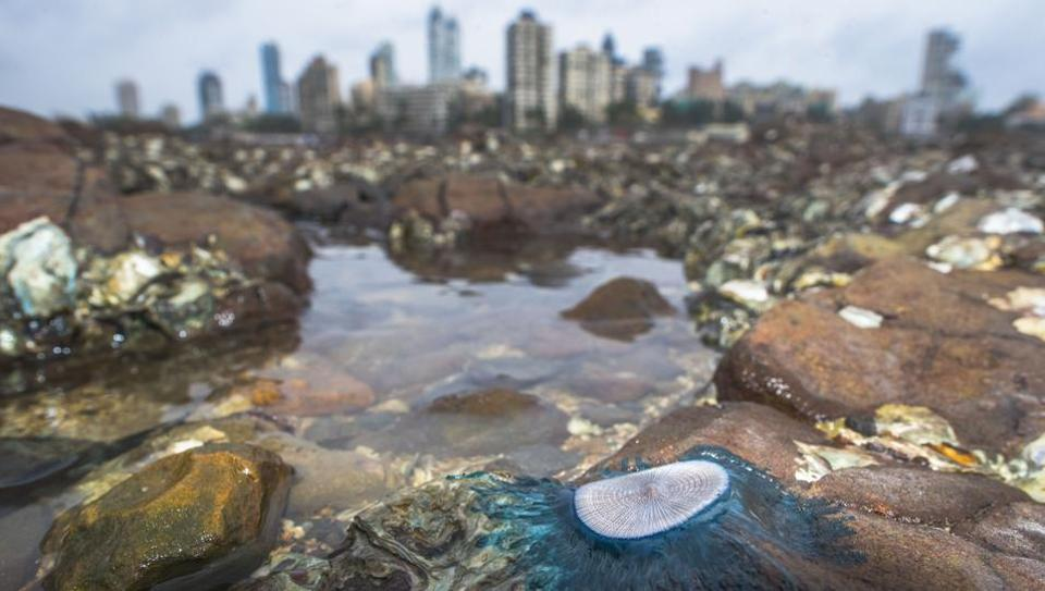 A Blue button (Porpita porpita) spotted on the rocky shore of Haji Ali in Mumbai. The spotting of the Blue button is a sign of the monsoon's arrival in the city. These Porpita are members of the invertebrate order Hydroida, found in tropical and subtropical waters of the Indian Ocean. (Pratik Chorge / HT Photo)