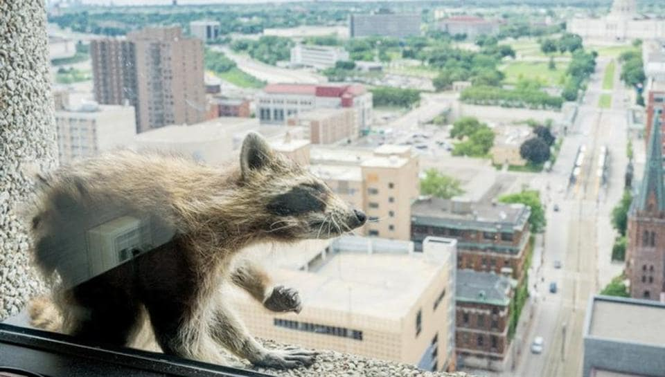 Raccoon,Raccoon mission impossible,Daredevil raccoon