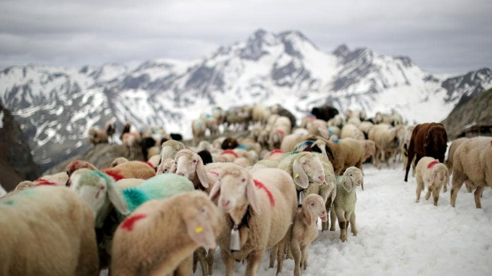 "Sheep cross the alpine pass ""Hochjoch"" at 2,856 meters above sea level, in the autonomous region of South Tyrol, Italy. (Lisi Niesner / REUTERS)"