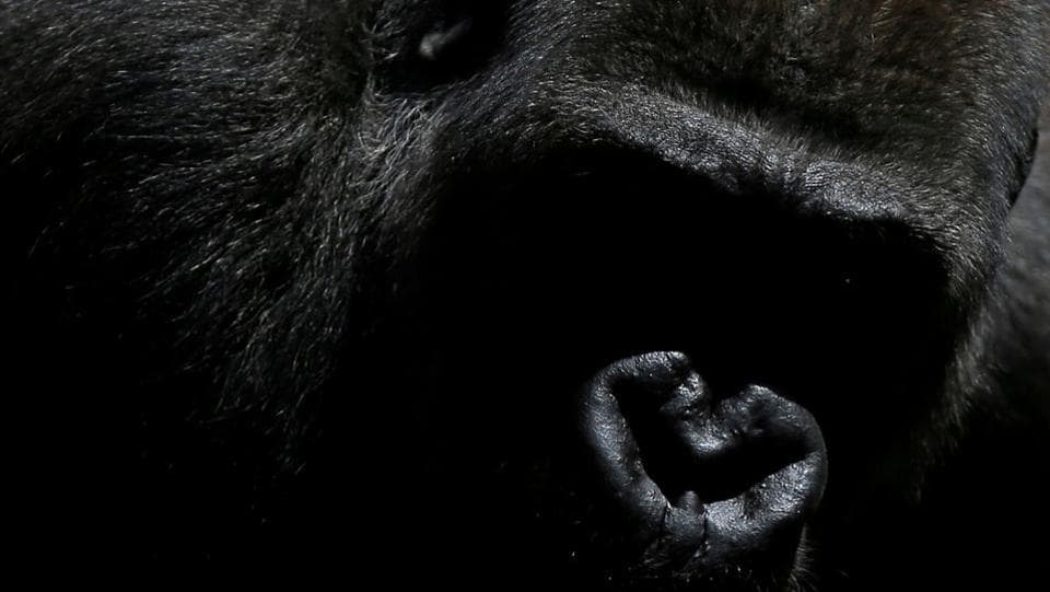Echo, a 9-year-old blackback coast gorilla, is pictured in his enclosure during his presentation after arriving from the Kolmarden Wildlife Park of Sweden as part of the EEP (European Endangered Species Programmes) to form a breeding group at Bioparc Fuengirola in Fuengirola, near Malaga, southern Spain. (Jon Nazca / REUTERS)