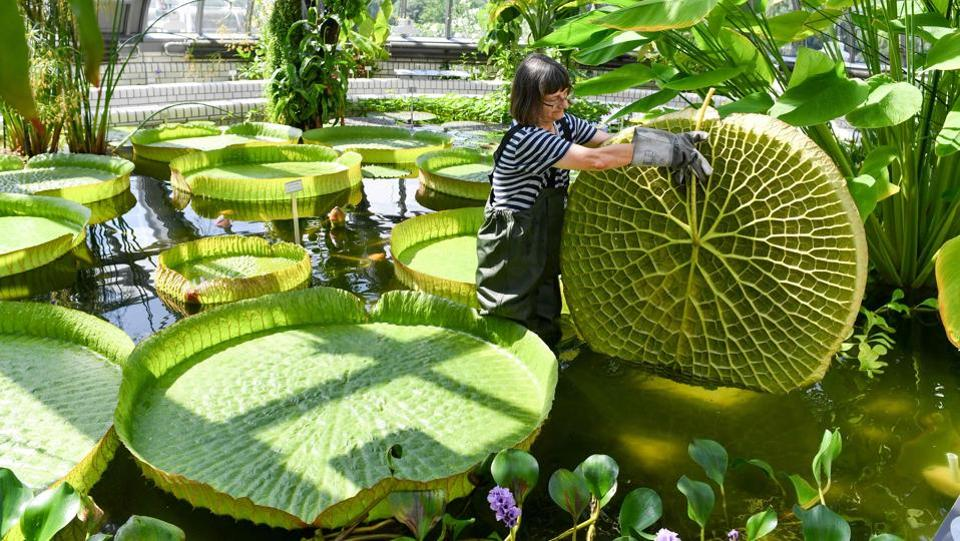 Gardener Roswitha Domine stands in a pond of the greenhouse at Berlin's Botanical Garden to inspect a large leaf of a Victoria water-lily, as last preparations are under way before the greenhouse's reopening following extensive reconstruction work. (Jens Kalene / DPA / AFP)