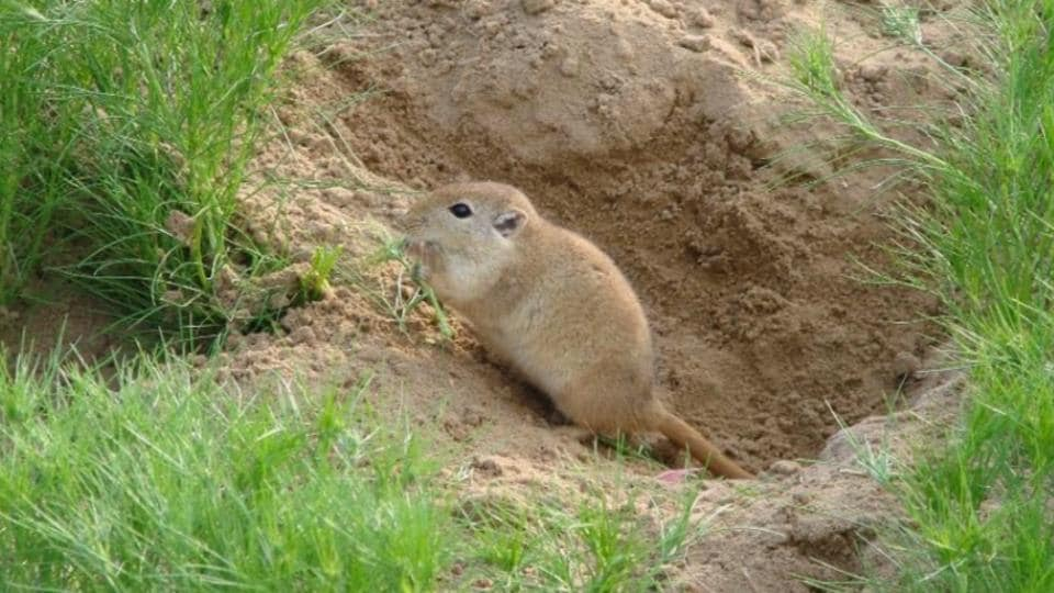 Rodents — which are the most important bioindicators in nature — are mostly found in the Thar Desert in western Rajasthan.