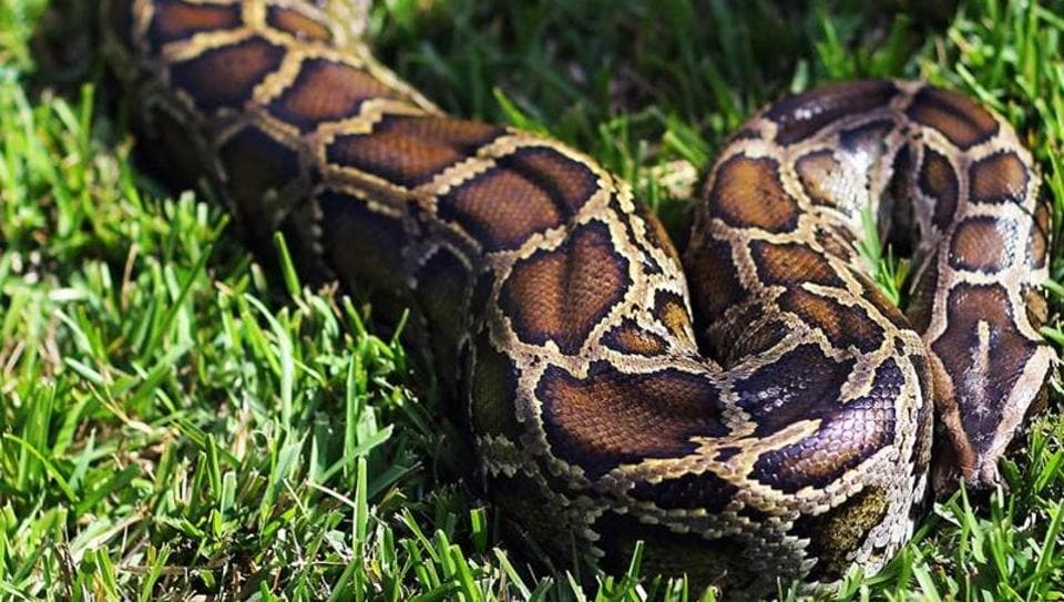 Python swallows Indonesian woman whole
