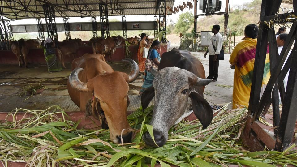 A cowshed at Bharthari Gufa ashram in Ujjain. Rawatpura Sarkar has had chief minister Shivraj Singh Chouhan visit his ashram to perform yagnas. Swami Avdeshanandji Maharaj of Ujjain is known to be close to senior BJP leaders Amit Shah, Rajnath Singh and Chouhan. Politicians, for their part, organise bigger and bigger kathas or readings of scriptures, and bhandaras or religious feasts. (Raj K Raj / HT Photo)