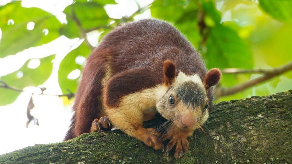 There are five Indian giant squirrels in the Katraj zoo.