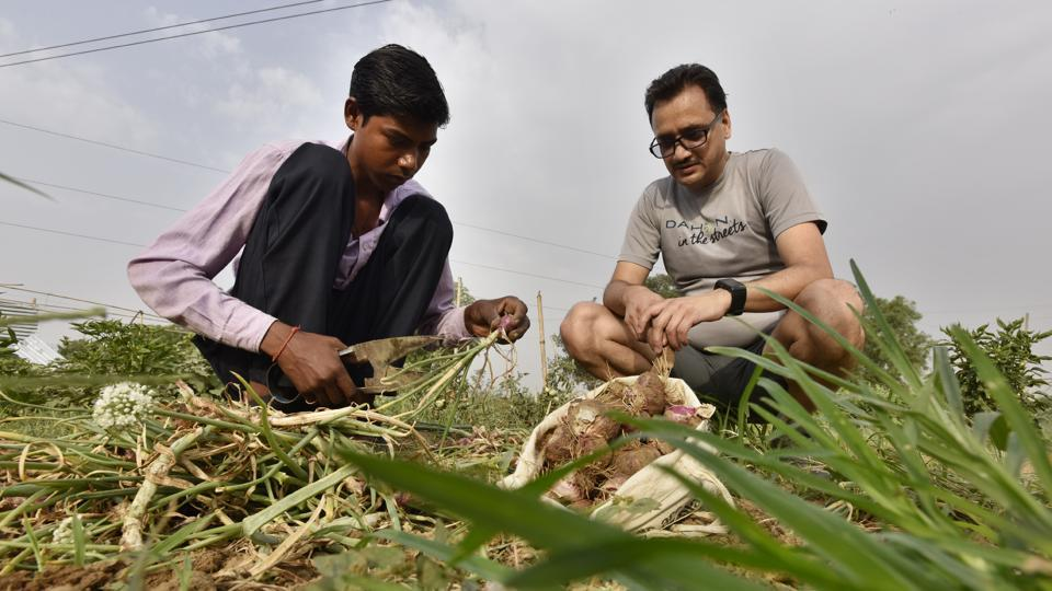 Sunil Bisht, a Gurugram resident cultivates a batch of sweet potatoes in the foothills of the Aravallis in Gairatpur Bas village, around 15 kilometres from Gurugram. Apart from him around 15 people are toiling on their farms, composting, manuring and harvesting for the upcoming week. (Sanjeev Verma / HT Photo)