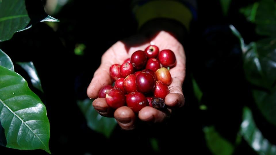A worker harvests arabica coffee cherries at a plantation in West Java. For decades, Indonesia has supplied coffee roasters worldwide with prized beans that give a distinctive taste to brews favoured by connoisseurs. But now, as younger generations switch to coffee and hundreds of independent coffee shops and roasters pop up across the archipelago, Indonesia's consumption of beans is rising, leaving less coffee for export. (Darren Whiteside / REUTERS)