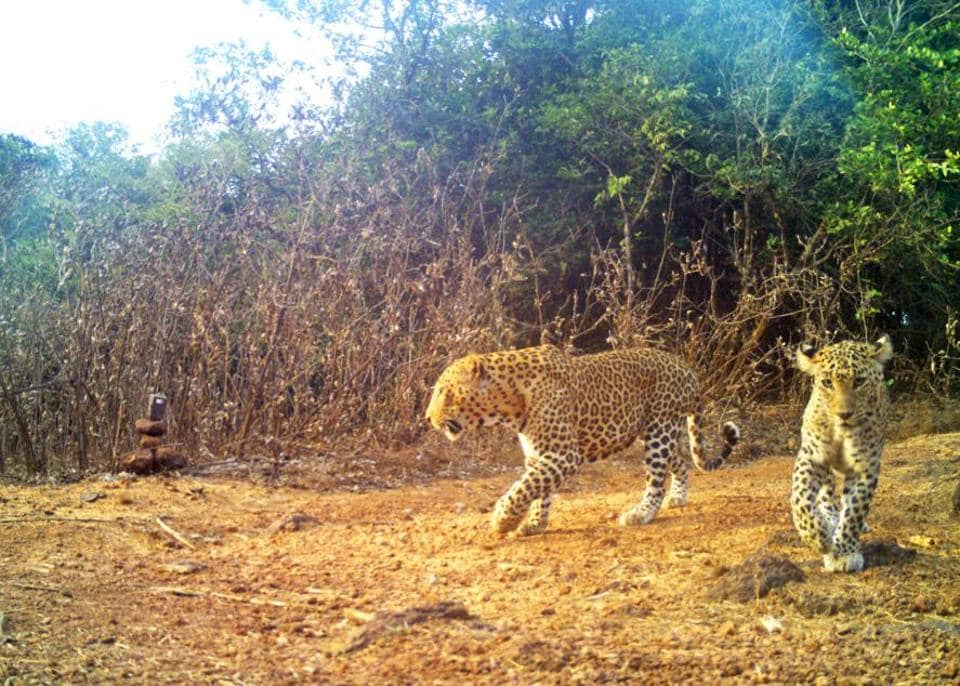 Leopards are protected under Schedule 1 of the Wildlife Protection Act, 1972.