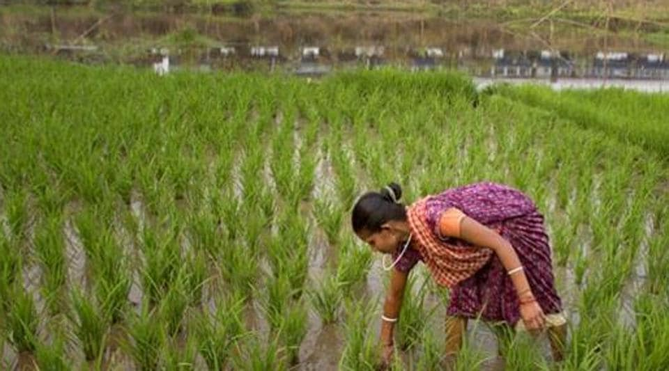 MSPs for kharif season are usually announced within the first two weeks of June. Analysts say lack of timely knowledge of support prices could hamper crop choices of farmers, leading to potential losses in income.