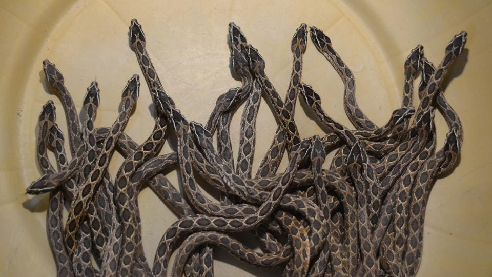 38 viper snakes were born overnight after snake rescuer Shrikant Gujar rescued 6ft Russell Vipers from AMP railway gate at Kalyan in Mumbai on June 28, 2018. (Rishikesh Choudhary / HT Photo)